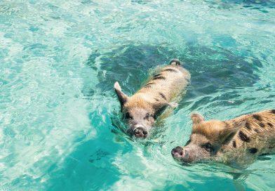 Wie süß ist das denn, bitte?! Die schwimmenden Schweine der Bahamas